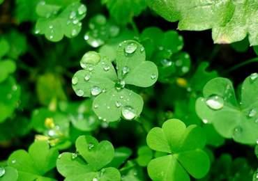 Şansı temsilen yonca yaprağı